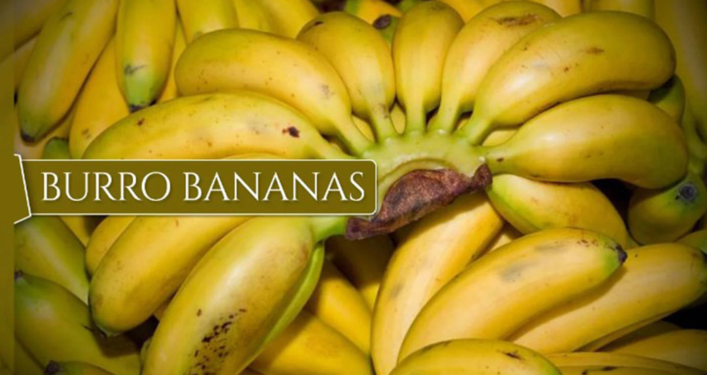 burro-bananas-1000-banana
